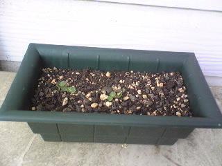 芽がでた。